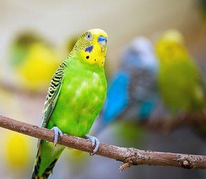 Namen voor vogels, parkieten, kanaries, kippen - Dierennamen